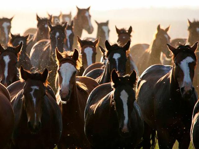 Janeiro é o mês do Cavalo Crioulo nos leilões do Canal Rural