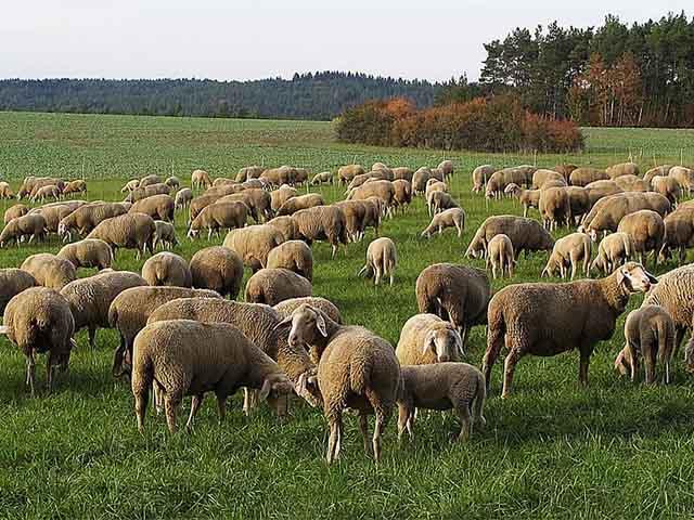 Temporada de ovinos requer cuidados de manejo e sanidade