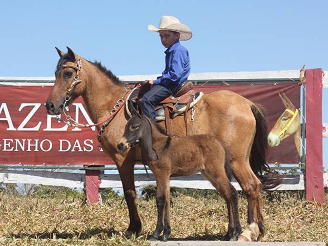 """Lote 16 - Fada do Engenho das Lajes, nascida em 2013, é uma Piquira, raça conhecida como """"Pequeno Marchador"""". A fêmea é domada, está parida e leva ao pé um burro."""