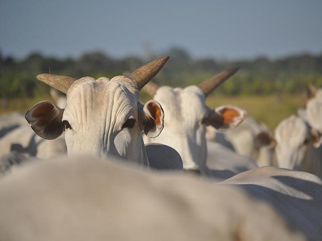 A força da pecuária durante a pandemia do coronavírus