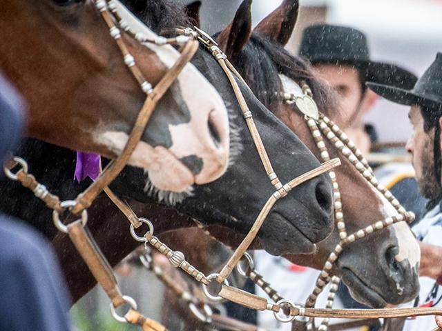 Mercado do cavalo crioulo ganha força em quatro remates virtuais