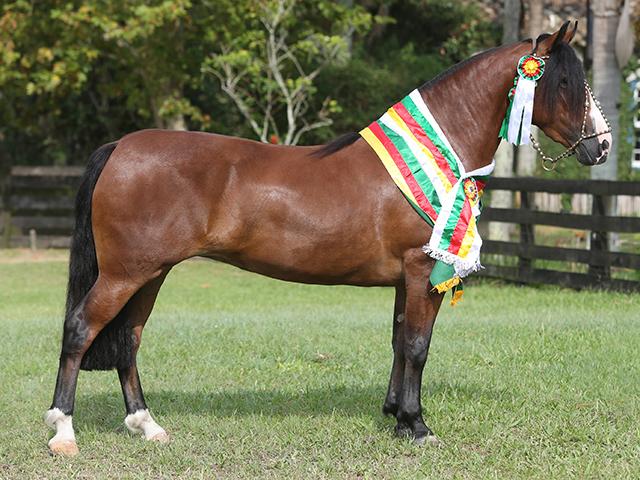 Égua Tropeada Mapocho aquece mercado do cavalo crioulo