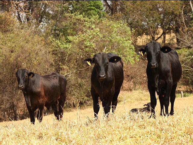 Carrapato bovino representa danos à produtividade da pecuária brasileira