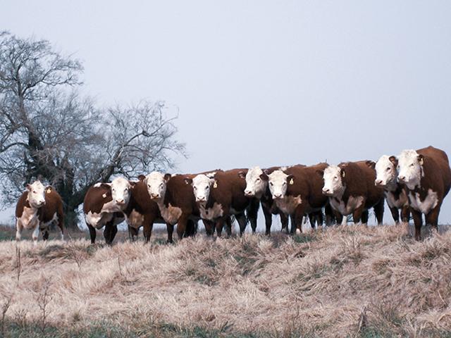 Adaptação em climas quentes traz vantagens para a raça Braford
