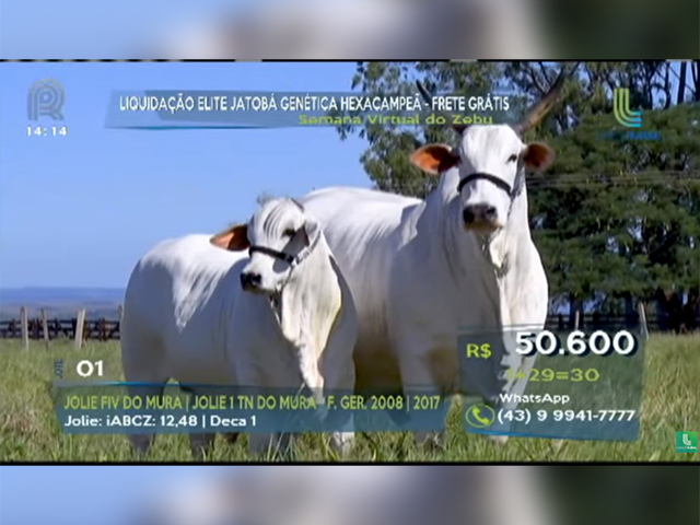 História na raça nelore: Jolie FIV do Mura quebra recorde de preço