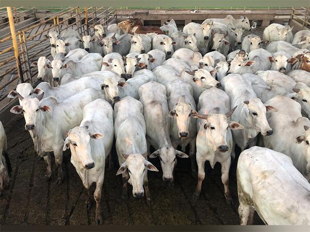 Mais de 800 animais avaliados no Circuito Nelore de Qualidade 2020