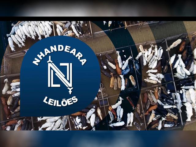 Leilão Nhandeara oferta animais para cria, recria e engorda