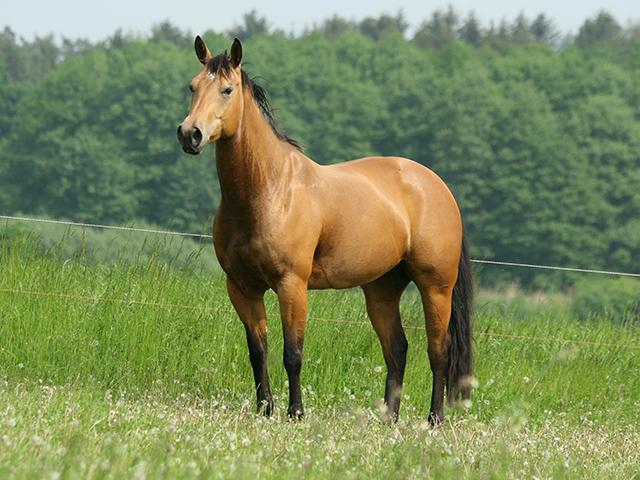 Brasil é líder na transferência de embriões de equinos