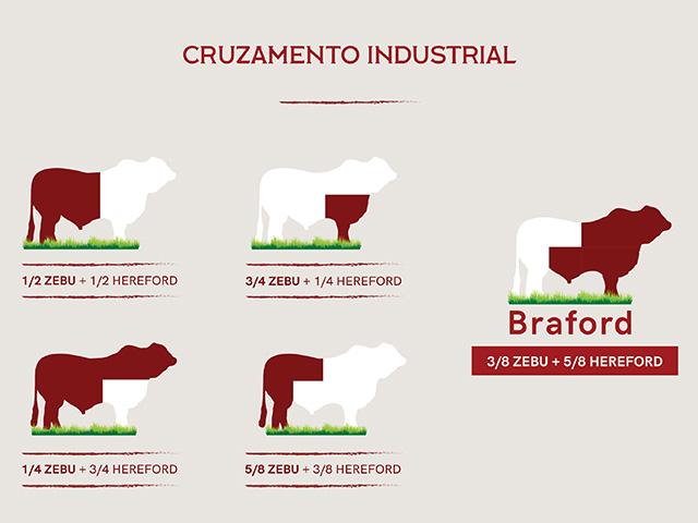 Cruzamento industrial: Animal com melhor desempenho em clima tropical