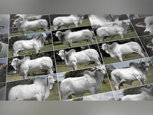 Conheça os touros recém contratados do Rancho da Matinha
